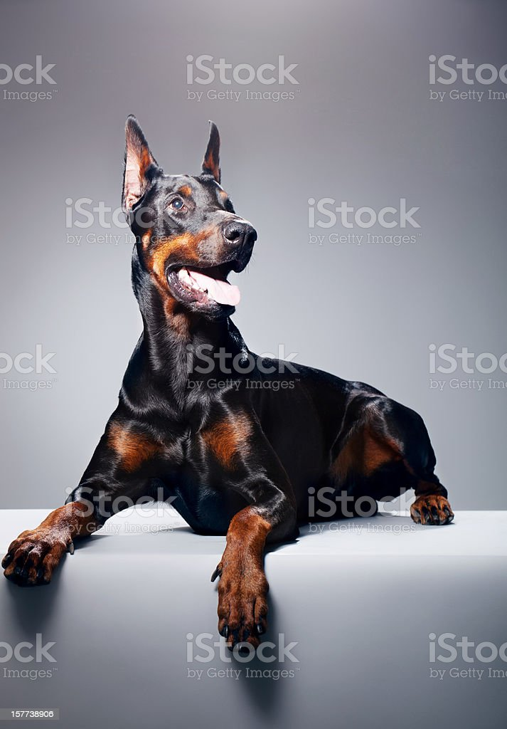 Portrait of a black dobermann stock photo