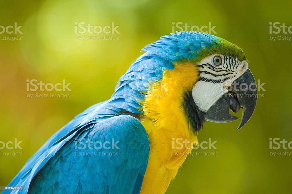 portrait of a blue macaw royalty-free stock photo