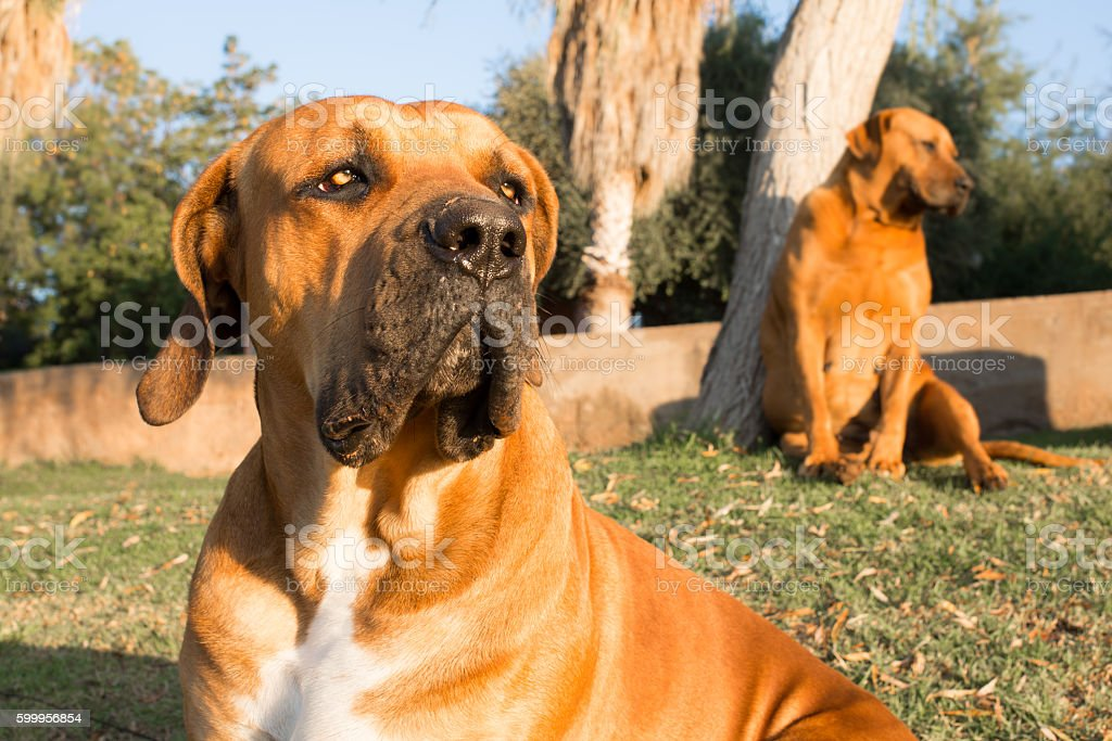 Portrait of a Boerboel dog stock photo