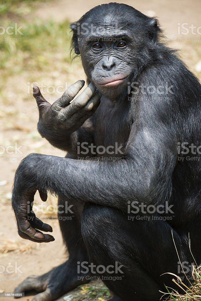 Portrait of a Bonobo (Pan paniscus) stock photo