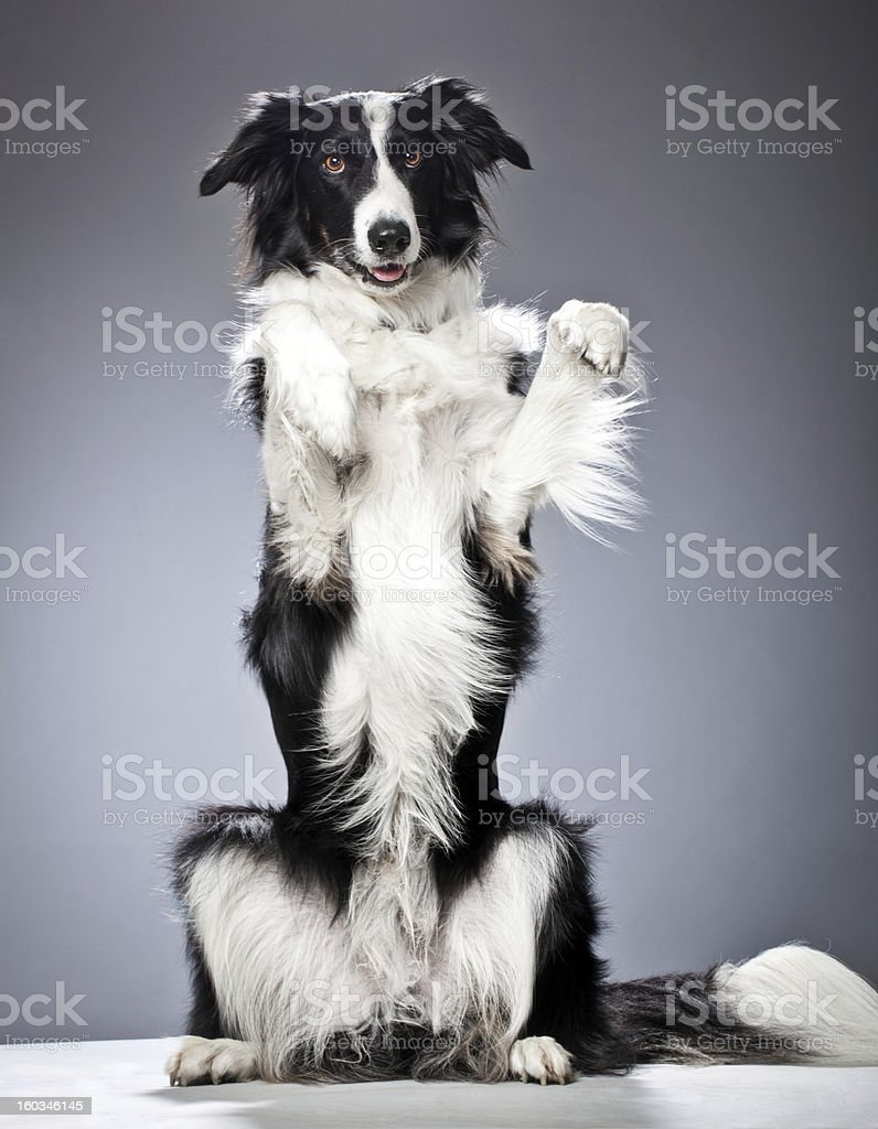 Portrait of a Border Collie stock photo