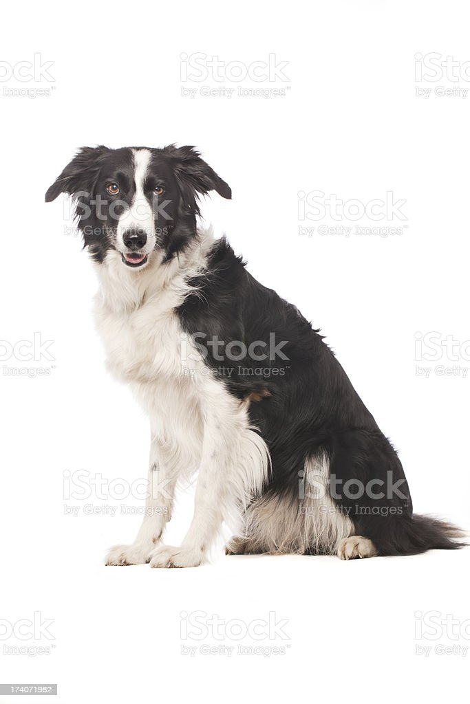 Portrait of a Border Collie stock photo