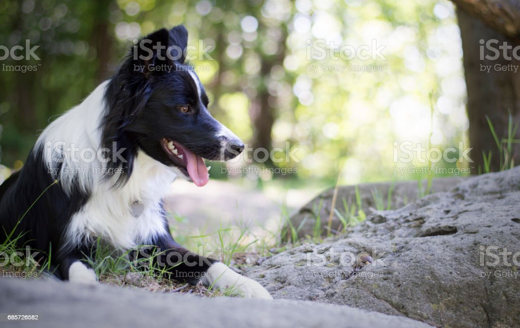 Portrait of a border collie puppy relaxing among rocks stock photo