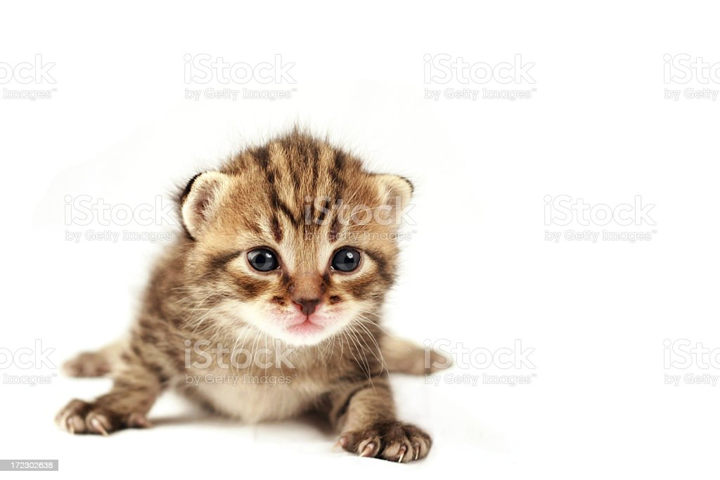 Portrait of a brown and white kitten isolated on white royalty-free stock photo