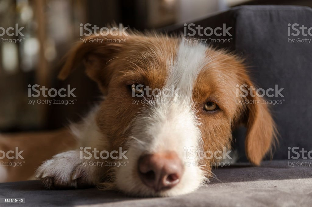 Portrait of a brown and white podenco lying on a sofa stock photo