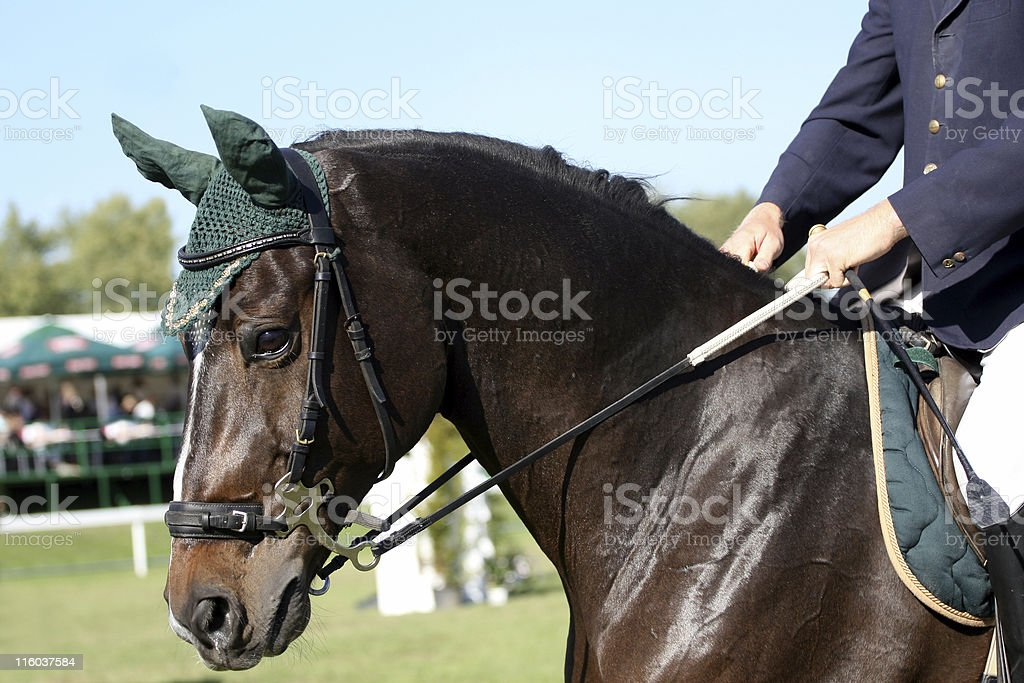Portrait of a brown arabian horse royalty-free stock photo