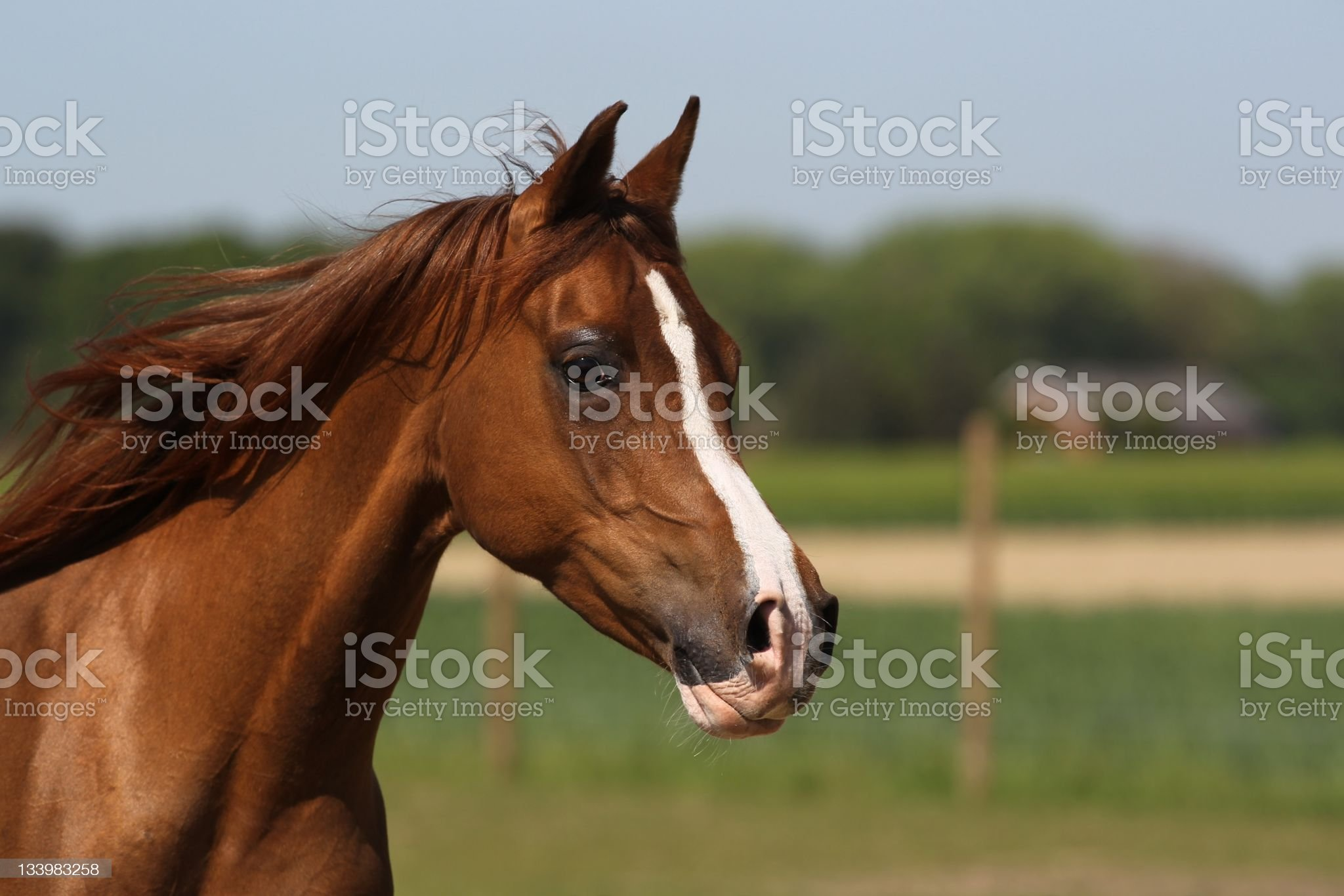 Portrait of a brown arabian mare royalty-free stock photo