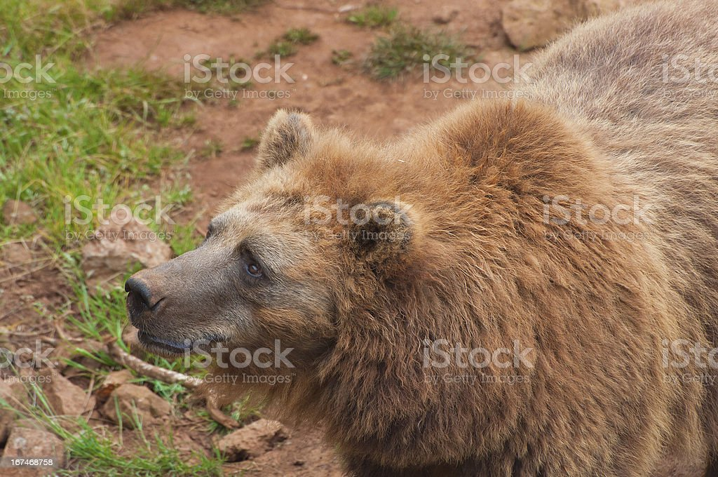 portrait of a brown bear royalty-free stock photo