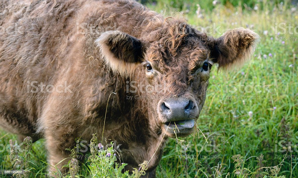 Portrait of a brown Galloway bull from very close stock photo
