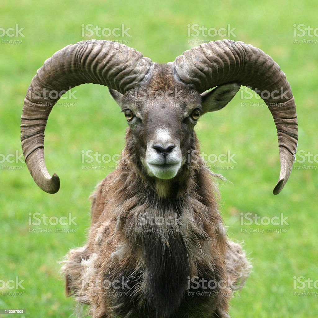 A portrait of a brown goat in a green pasture stock photo