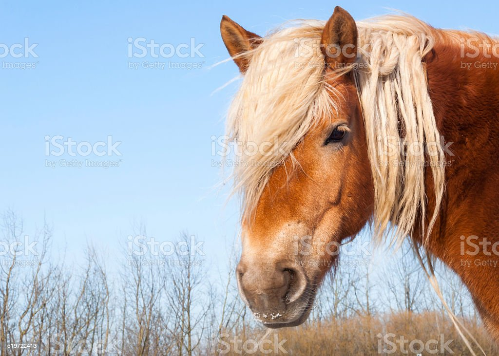Portrait of a brown horse with blonde manes stock photo