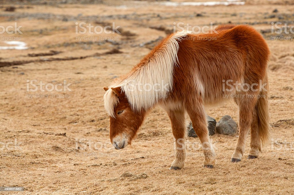 Portrait of a brown Icelandic horse stock photo