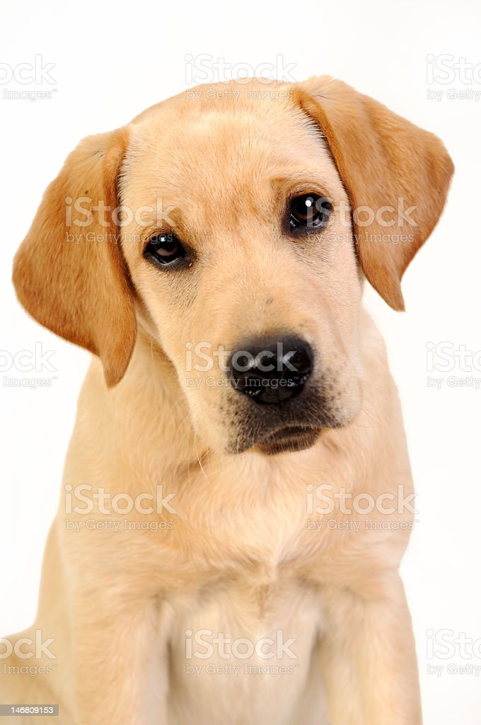 Portrait of a brown Labrador puppy stock photo