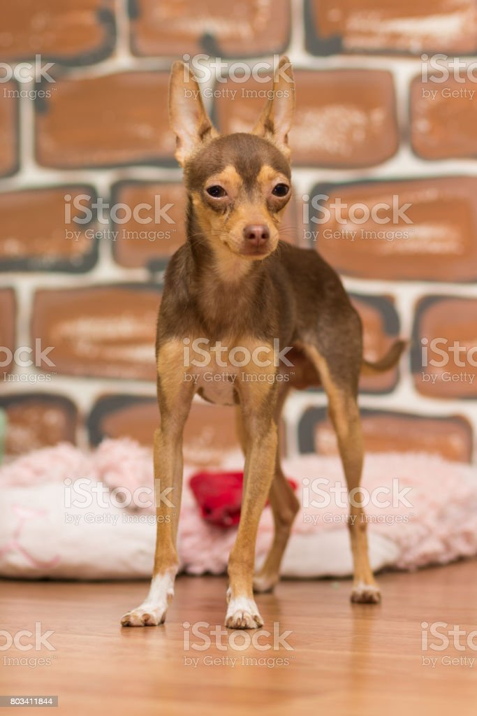 Portrait of a brown slender toy terrier on a brown background stock photo