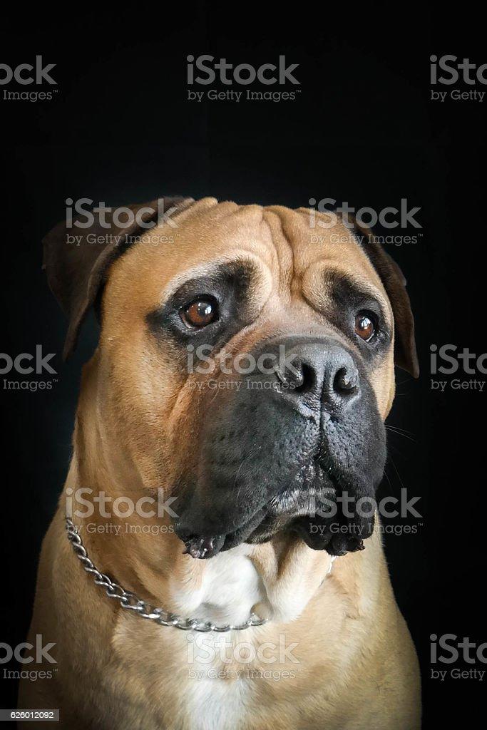 portrait of a bullmastiff stock photo