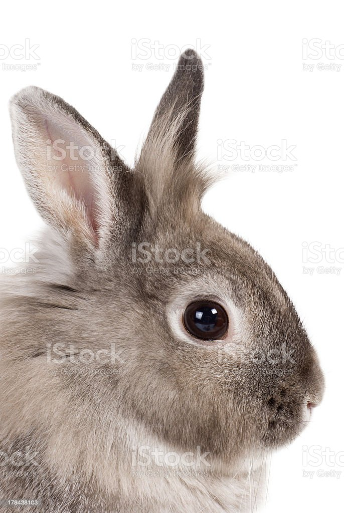 Portrait of a bunny rabbit royalty-free stock photo