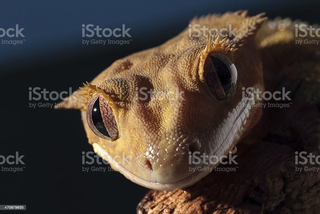 Portrait of a Caledonian crested gecko royalty-free stock photo