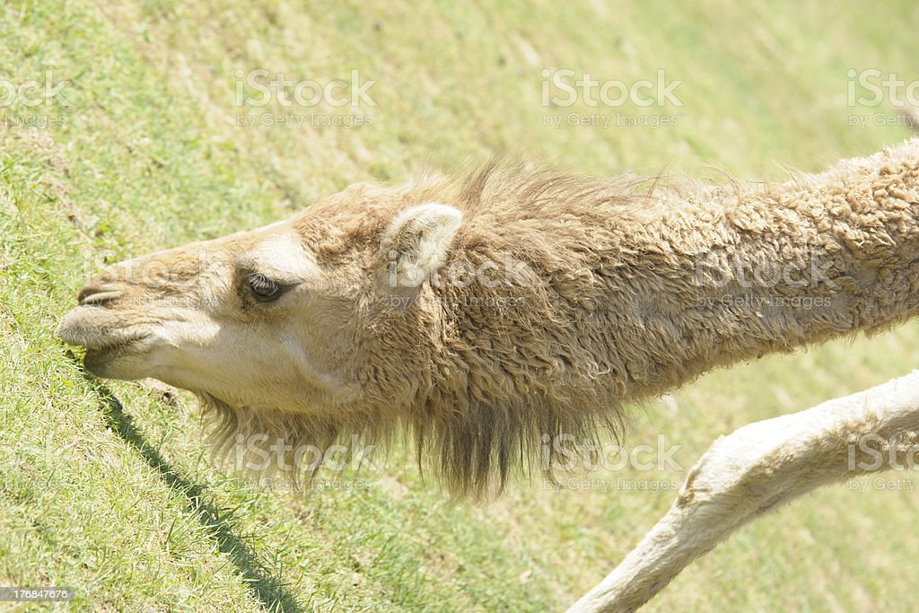 portrait of a camel royalty-free stock photo