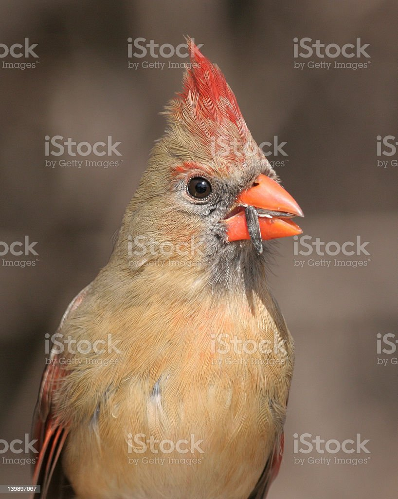 Portrait of a Cardinal royalty-free stock photo