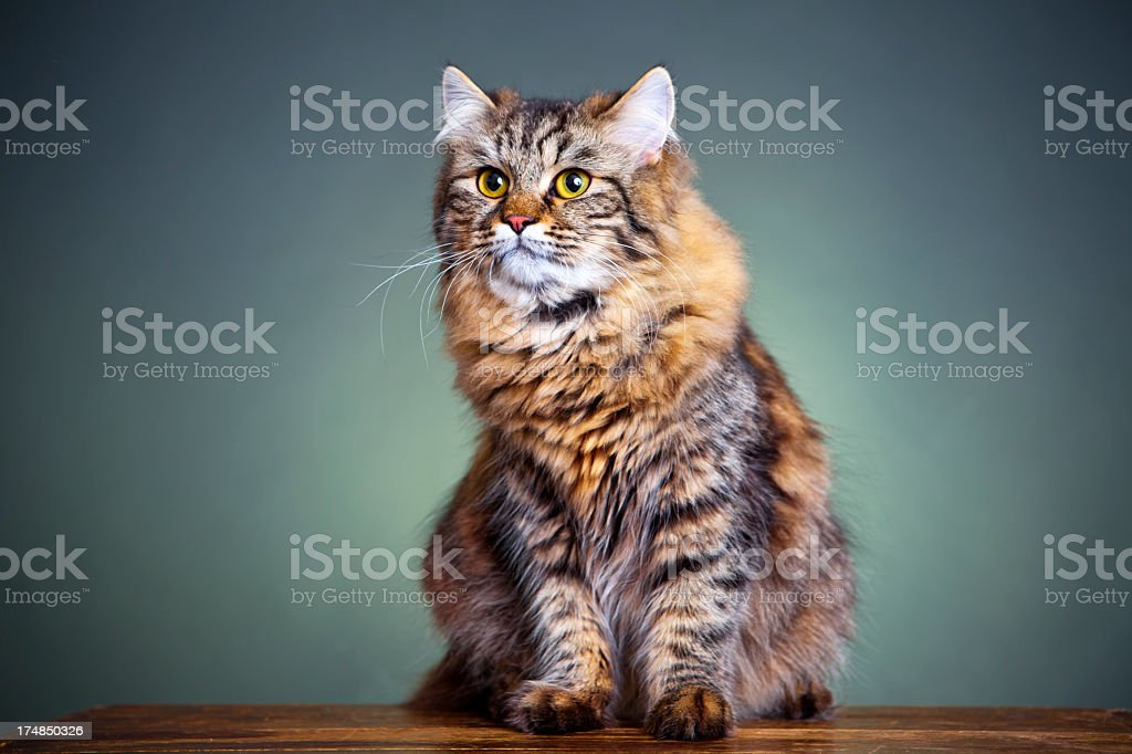 Portrait of a cat royalty-free stock photo