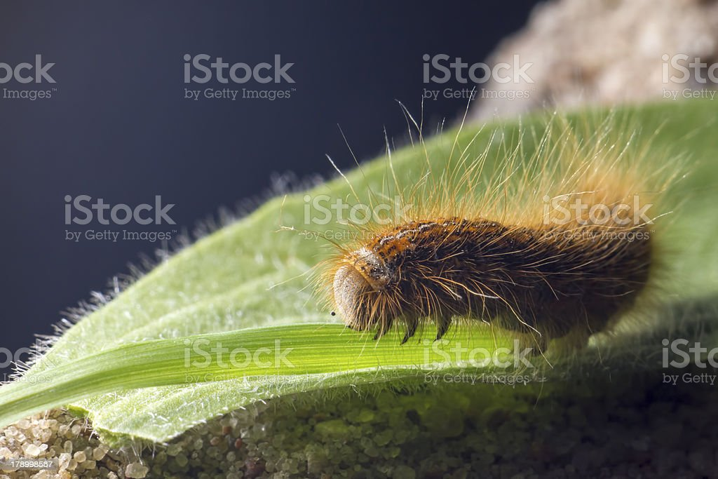 Portrait of a caterpillar royalty-free stock photo