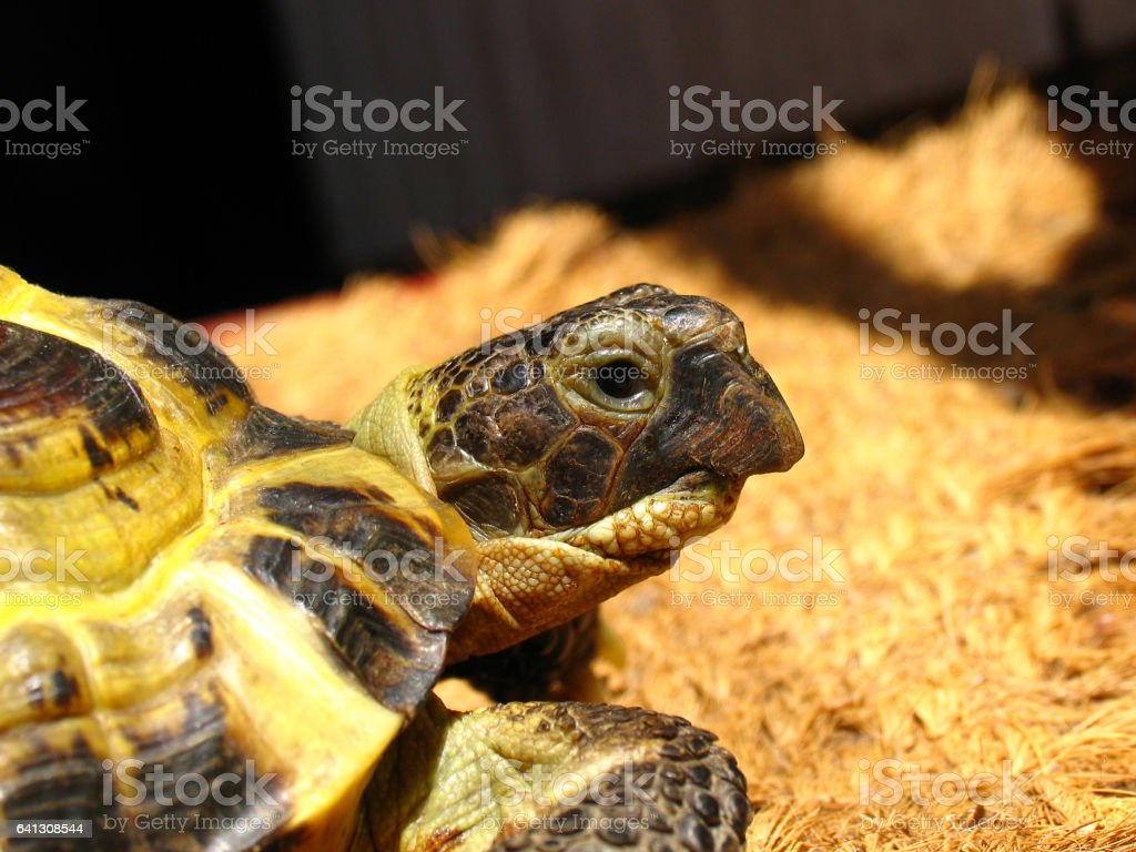 Portrait of a Central Asian tortoise (Agrionemys horsfieldii) stock photo