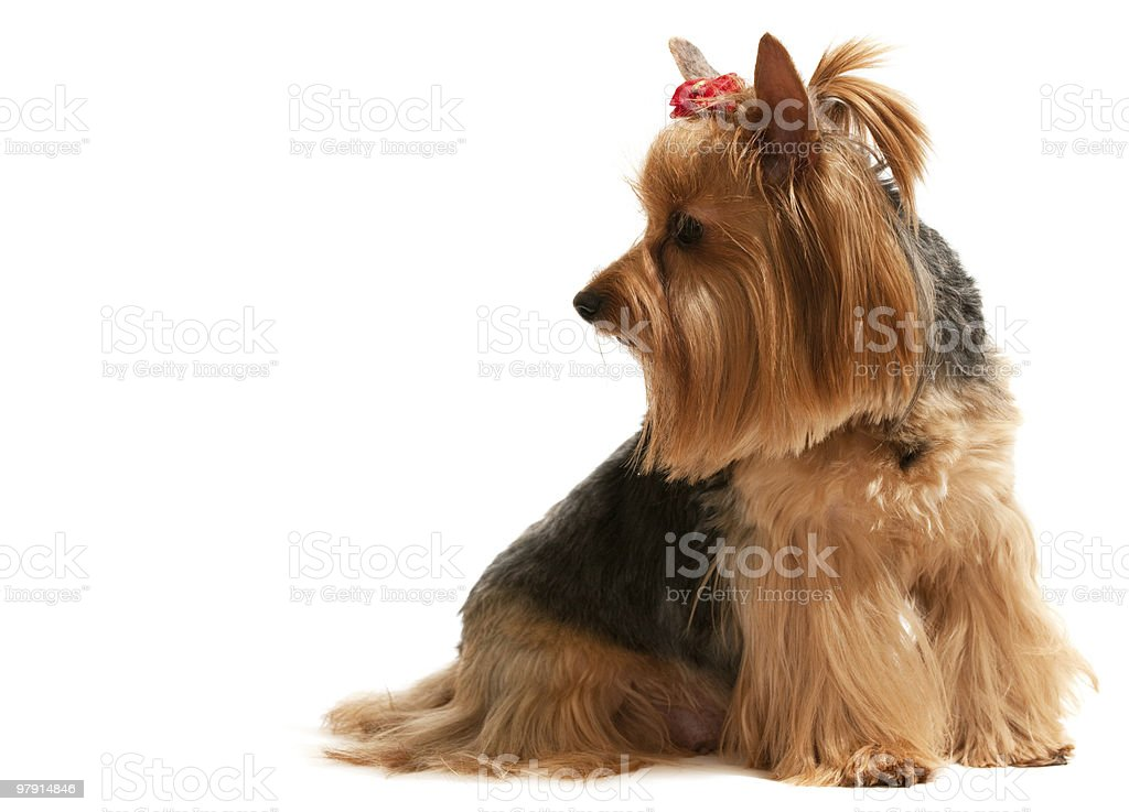 Portrait of a charming yorkie royalty-free stock photo