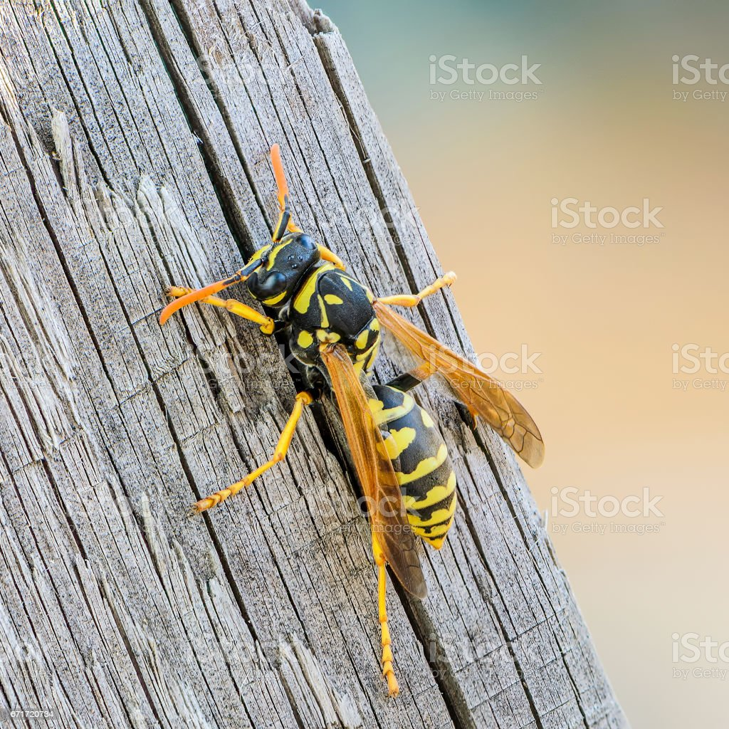 Portrait of a close-up of a wasp stock photo