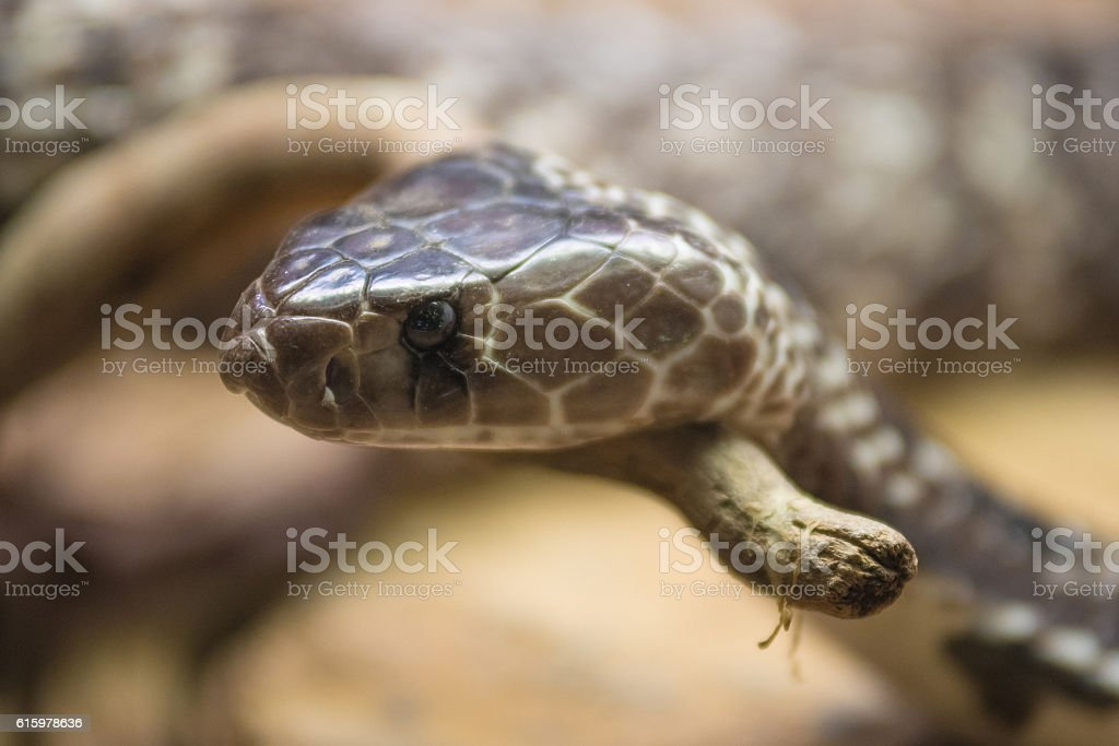 Portrait of a Cobra snake stock photo