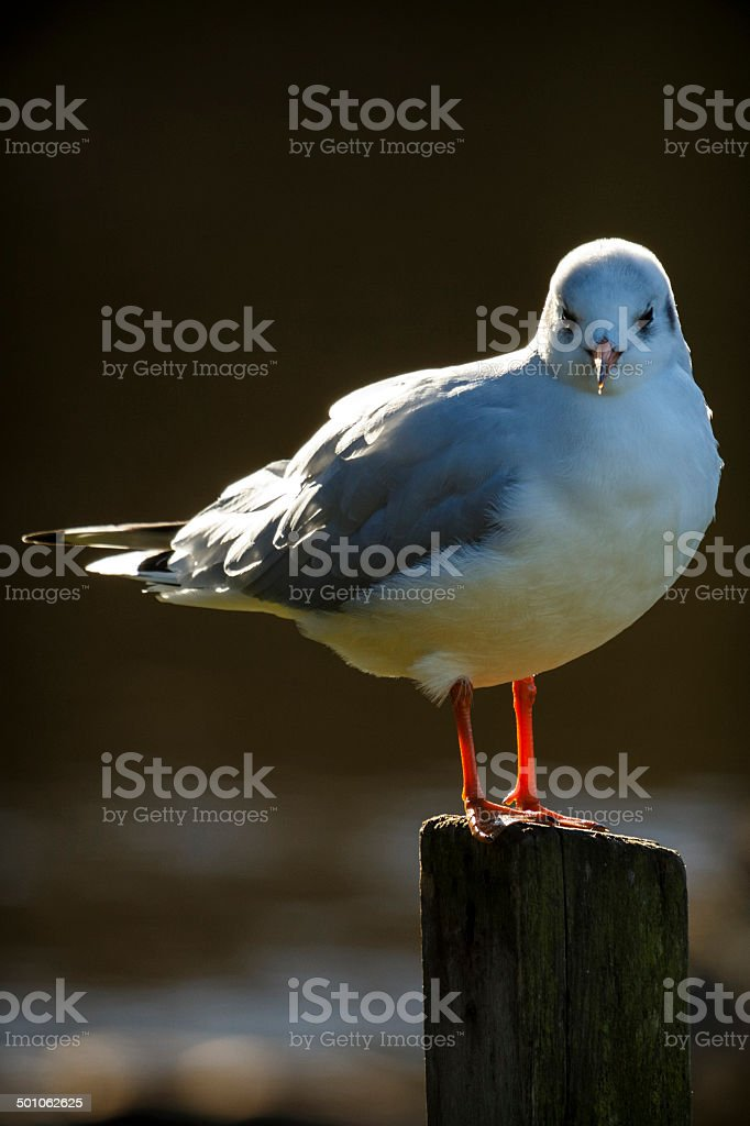 Portrait Of A Common Gull stock photo