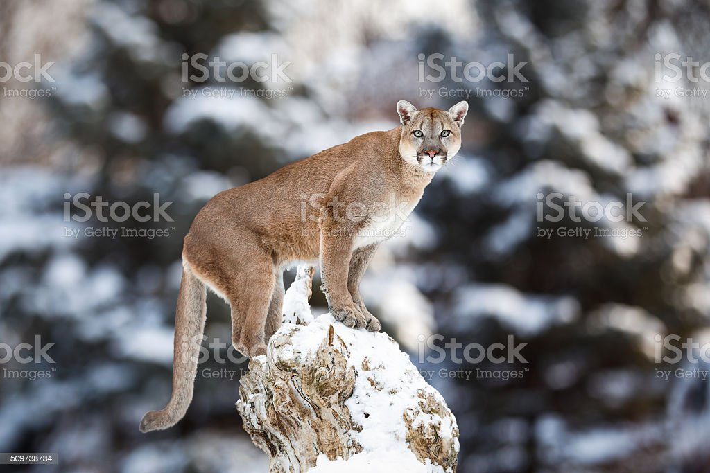 Portrait of a cougar, mountain lion, puma, panther stock photo