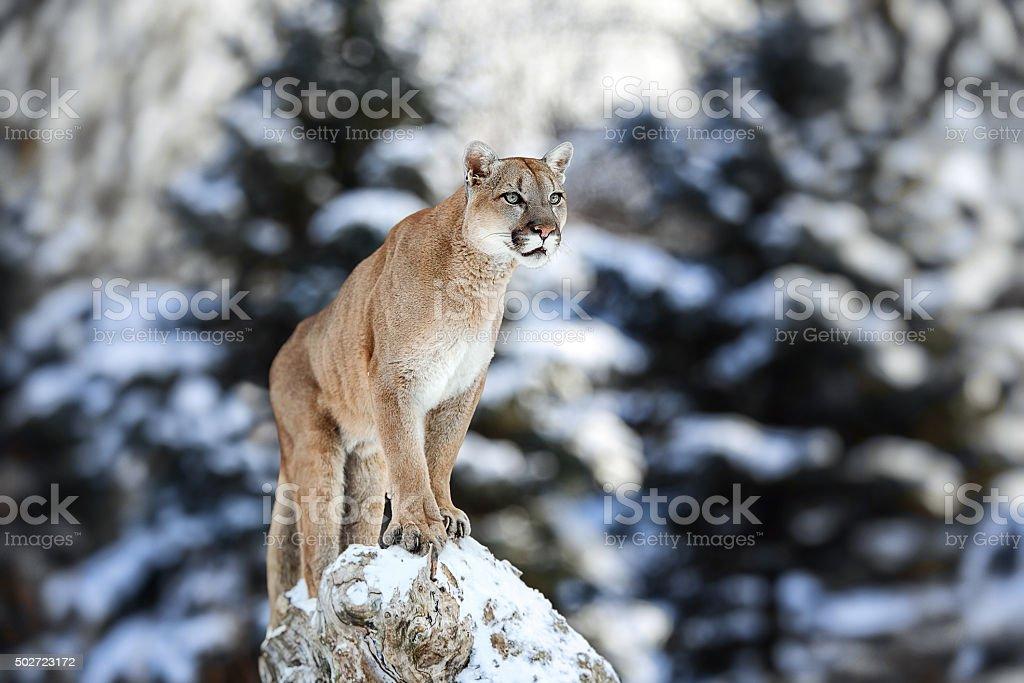Portrait of a cougar, mountain lion, puma stock photo