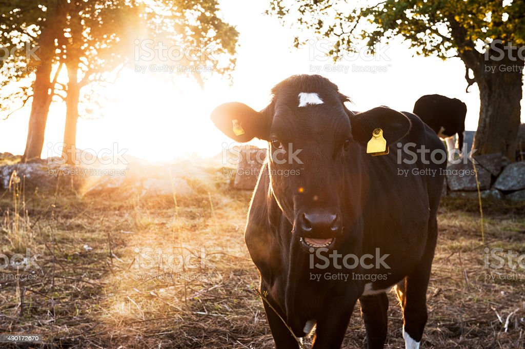 Portrait of a cow in backlight stock photo