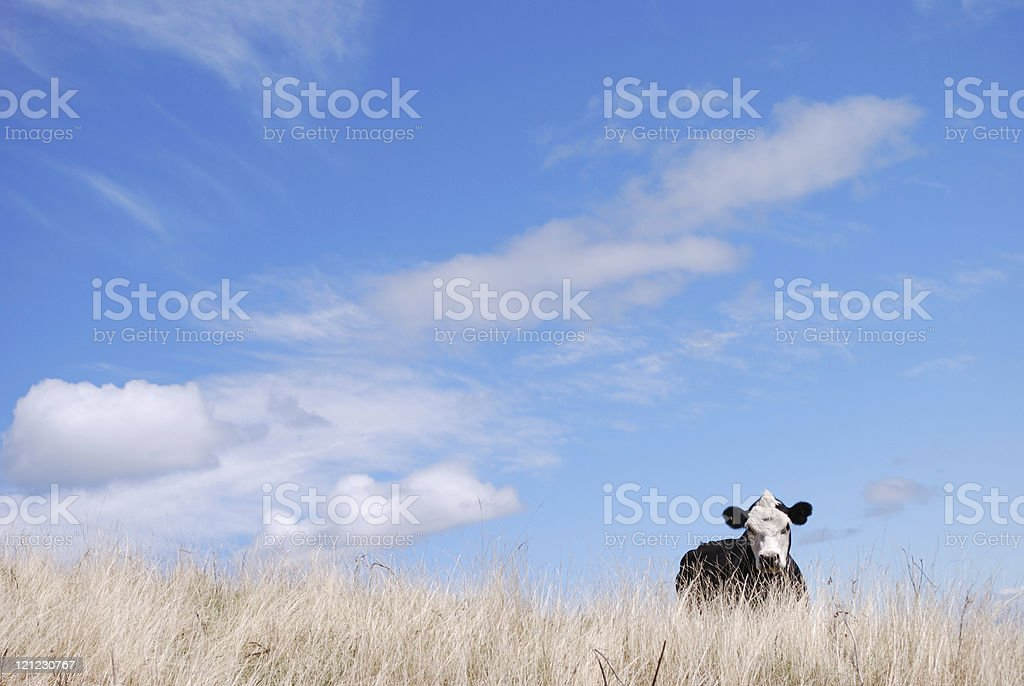 Portrait of a Cow, New Zealand royalty-free stock photo