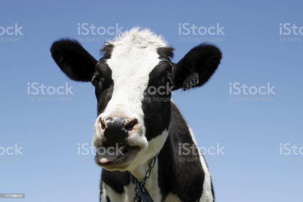 Portrait of a cow royalty-free stock photo
