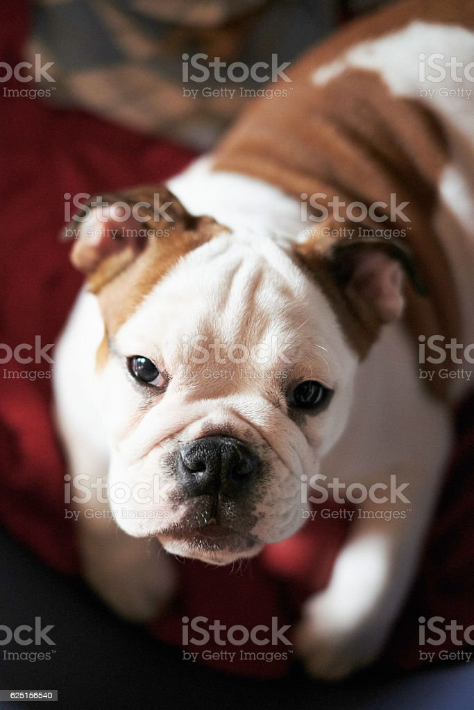 Portrait of a crouched dog photographed from above stock photo