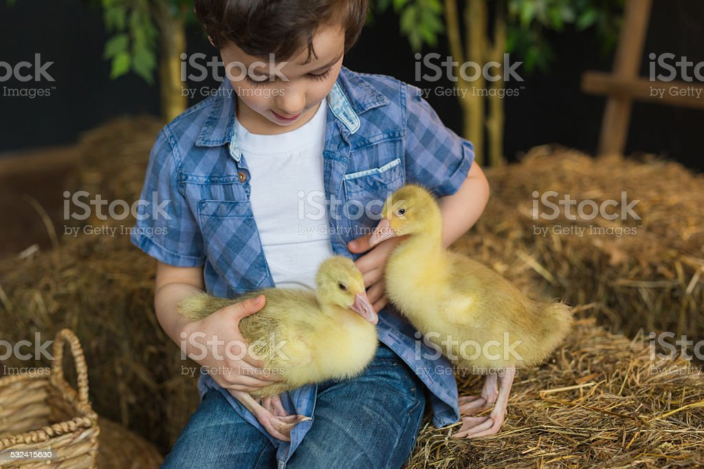 Portrait of a cute boy stroking of geese on farm stock photo
