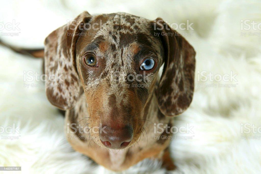 Portrait of a dachshund royalty-free stock photo
