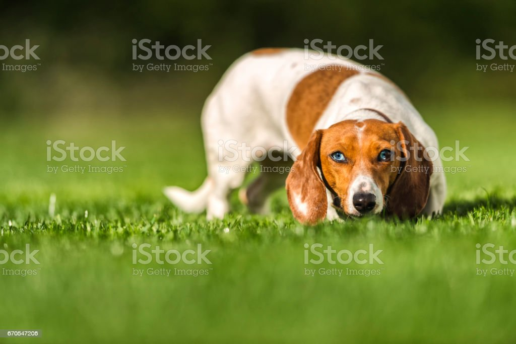 Portrait of a Dachshund standing sniffing the early morning grass stock photo