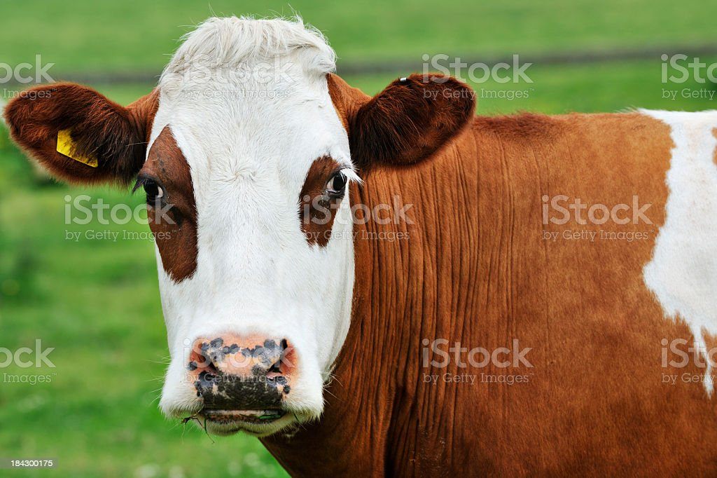 Portrait of a dairy cow looking at the camera stock photo