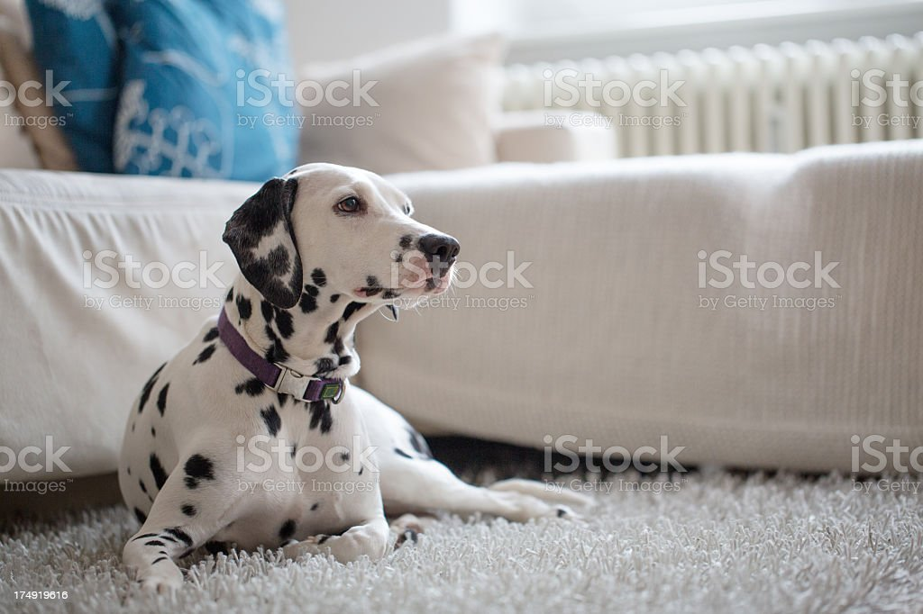 Portrait of a Dalmatian at home royalty-free stock photo