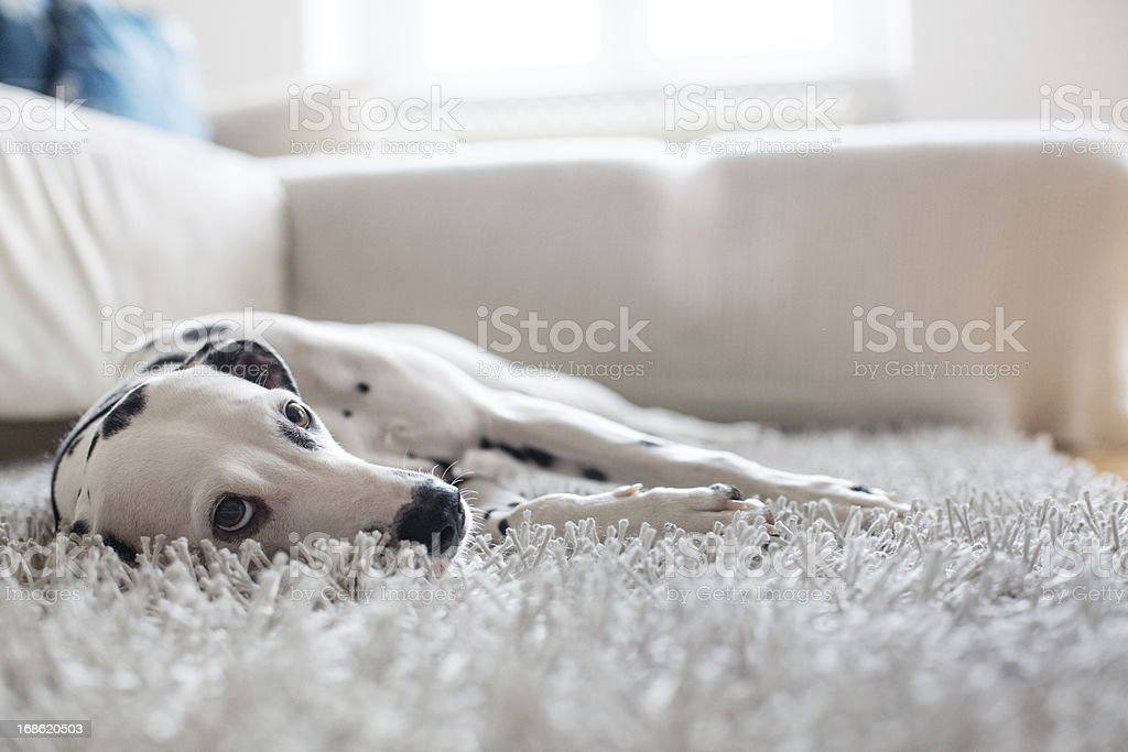 Portrait of a Dalmatian stock photo