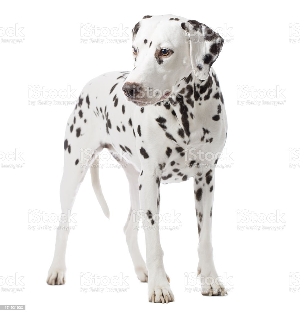 Portrait of a Dalmatian royalty-free stock photo