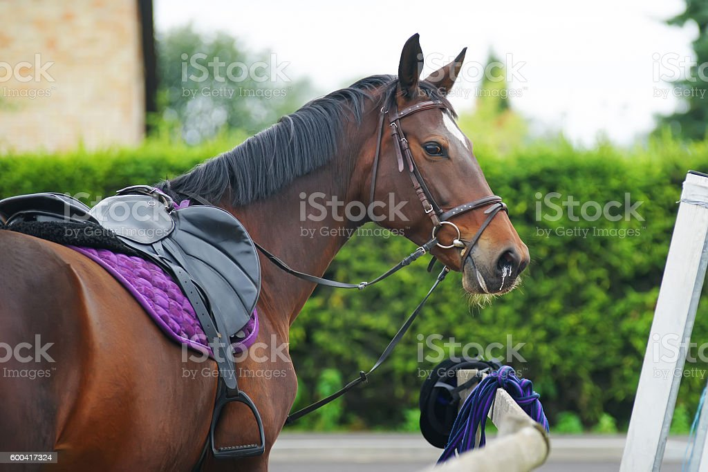 Portrait of a dark brown horse staying outdoors with bridle stock photo