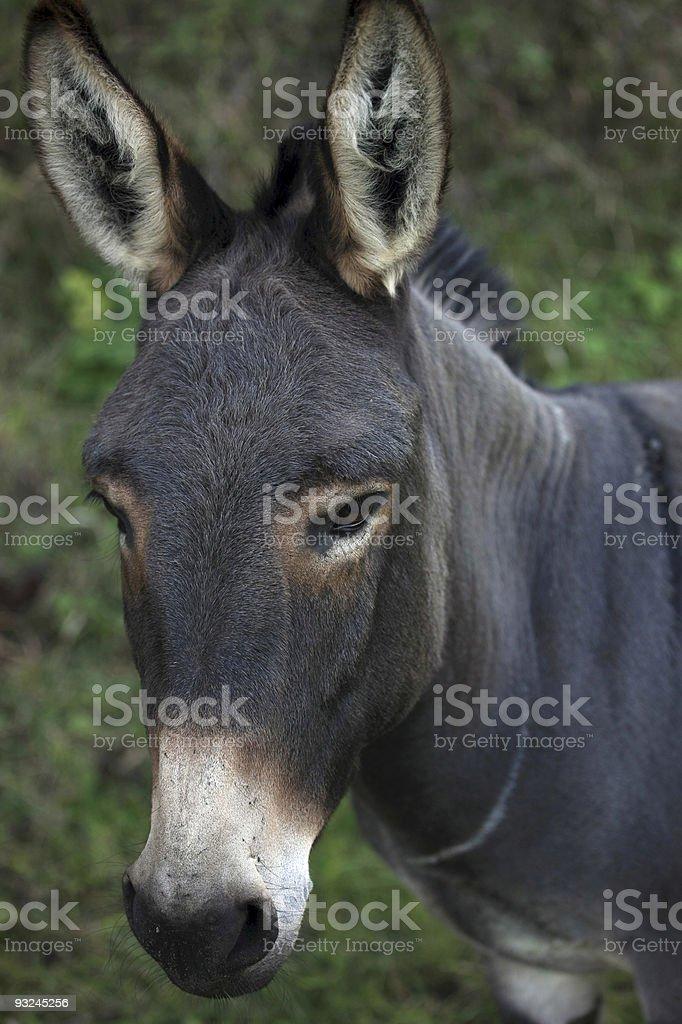 Portrait of a dark donkey royalty-free stock photo