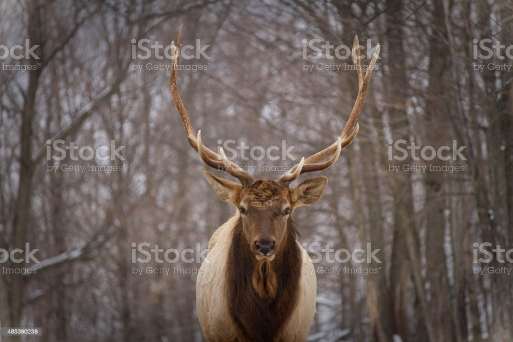 Portrait of a deer in winter-Canada stock photo