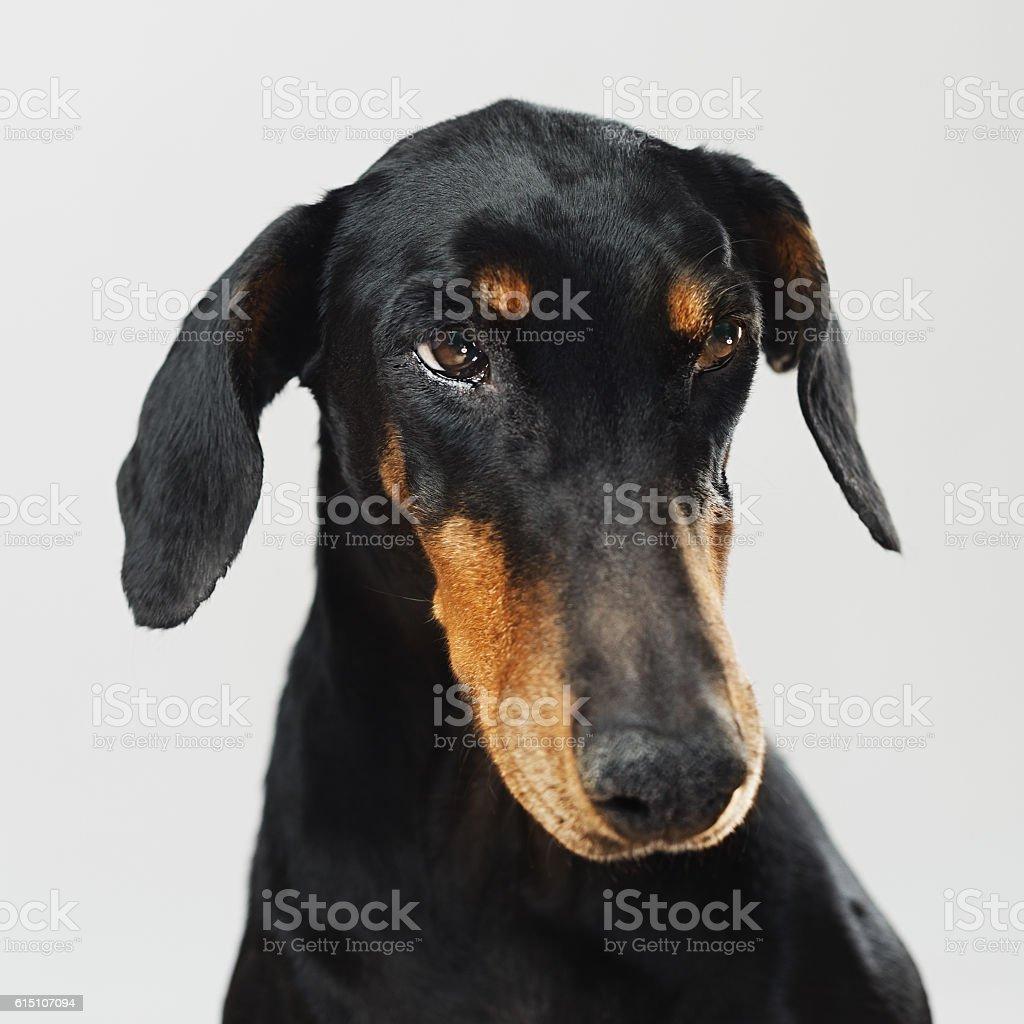 Portrait of a doberman dog stock photo