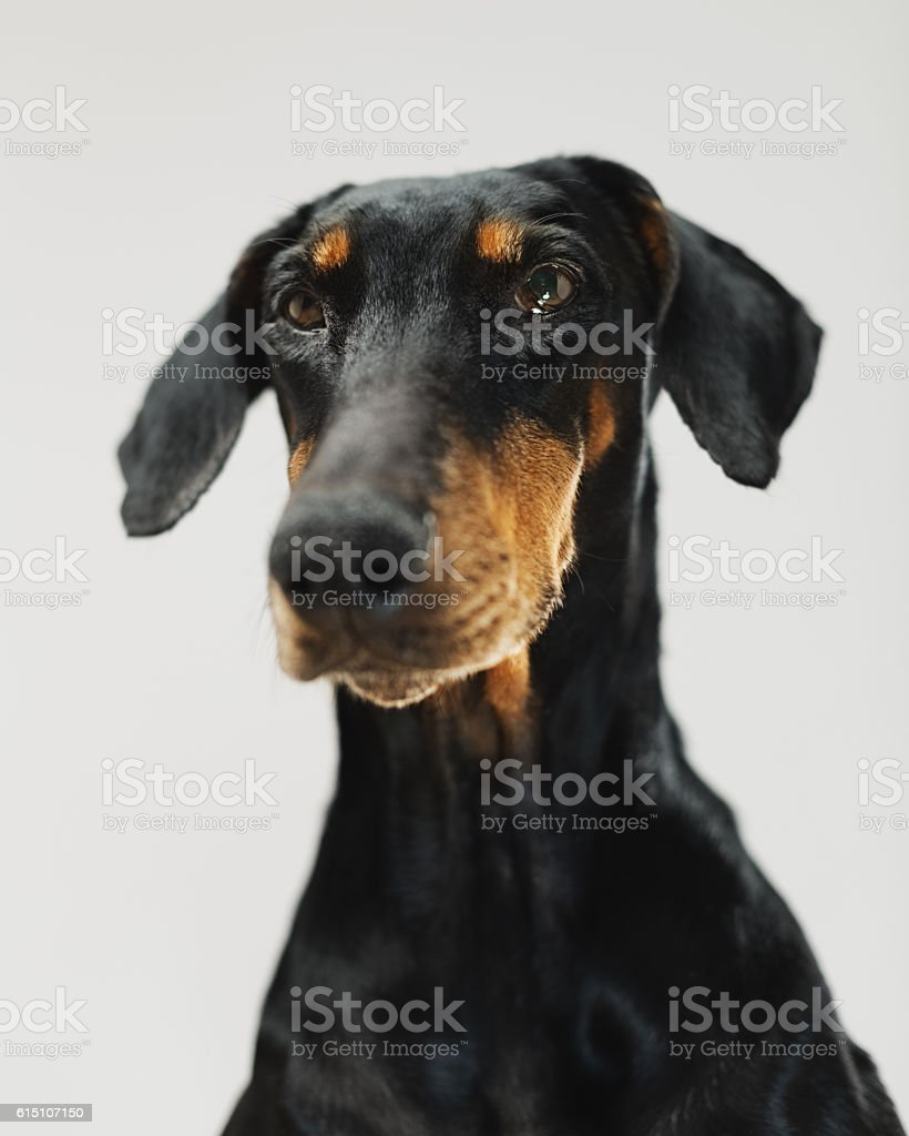Portrait of a doberman dog stock photo