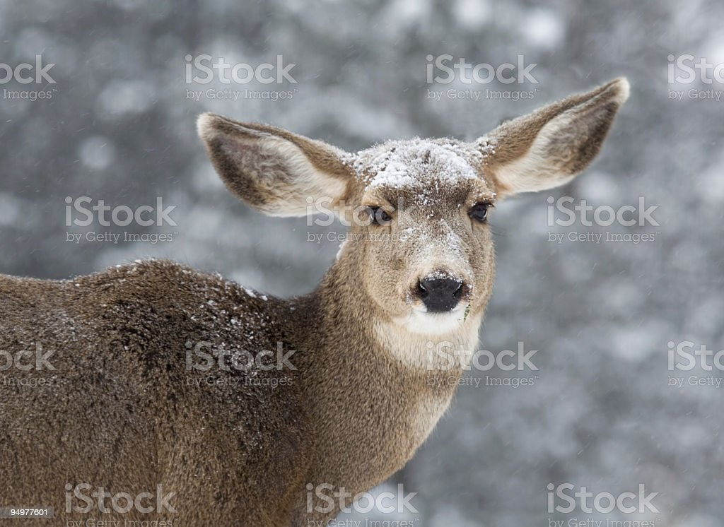 Portrait of a Doe in Snow stock photo
