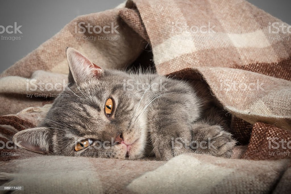 portrait of a domestic cat, British, without people, sleeping